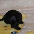s. czarny pies