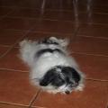odpoczynek hawanczyka