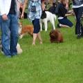 Fidelio havanese na wystawie psów rasowych